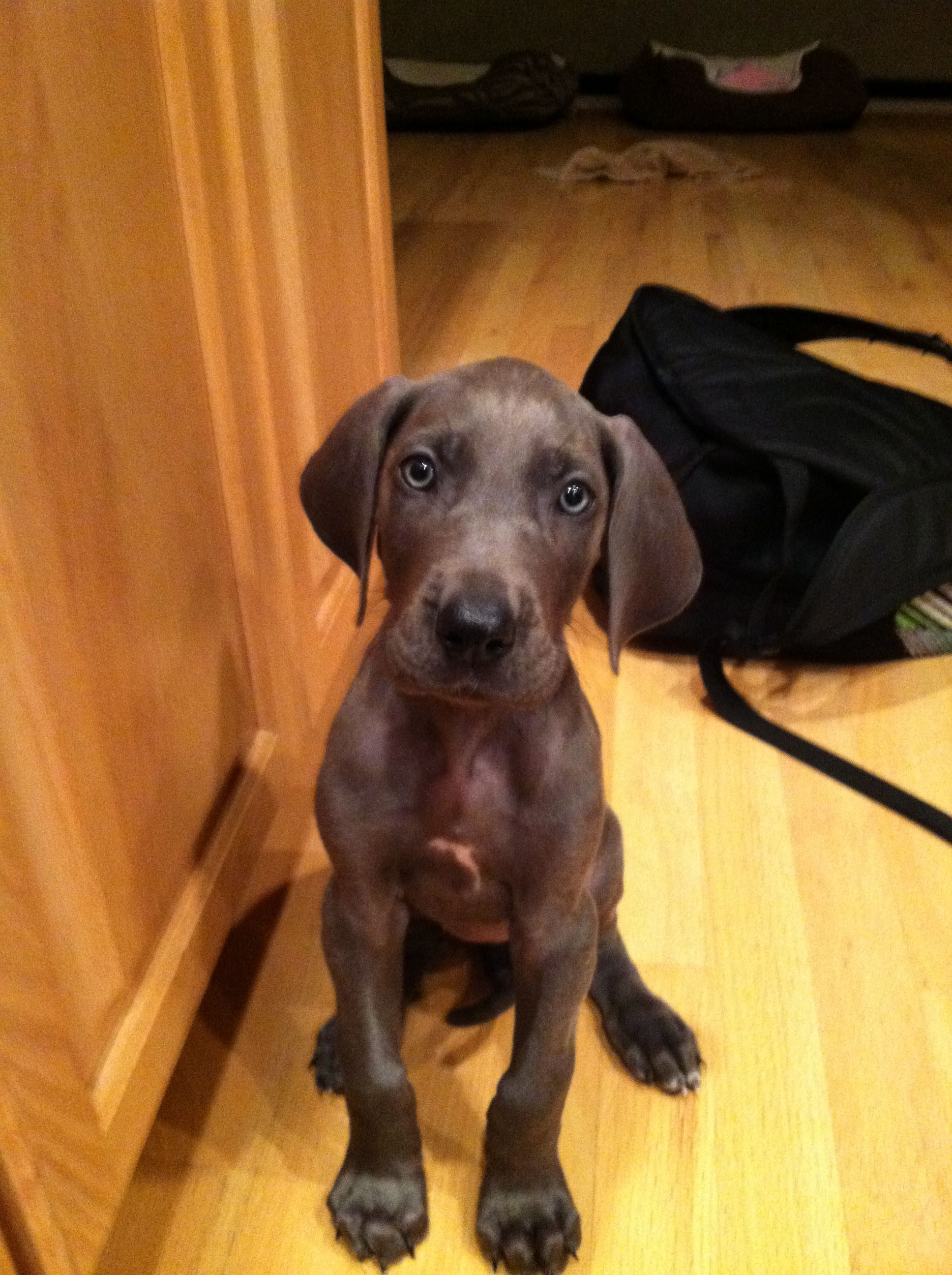 Bella My 7 Week Old Blue Great Dane Puppy She S Adorable
