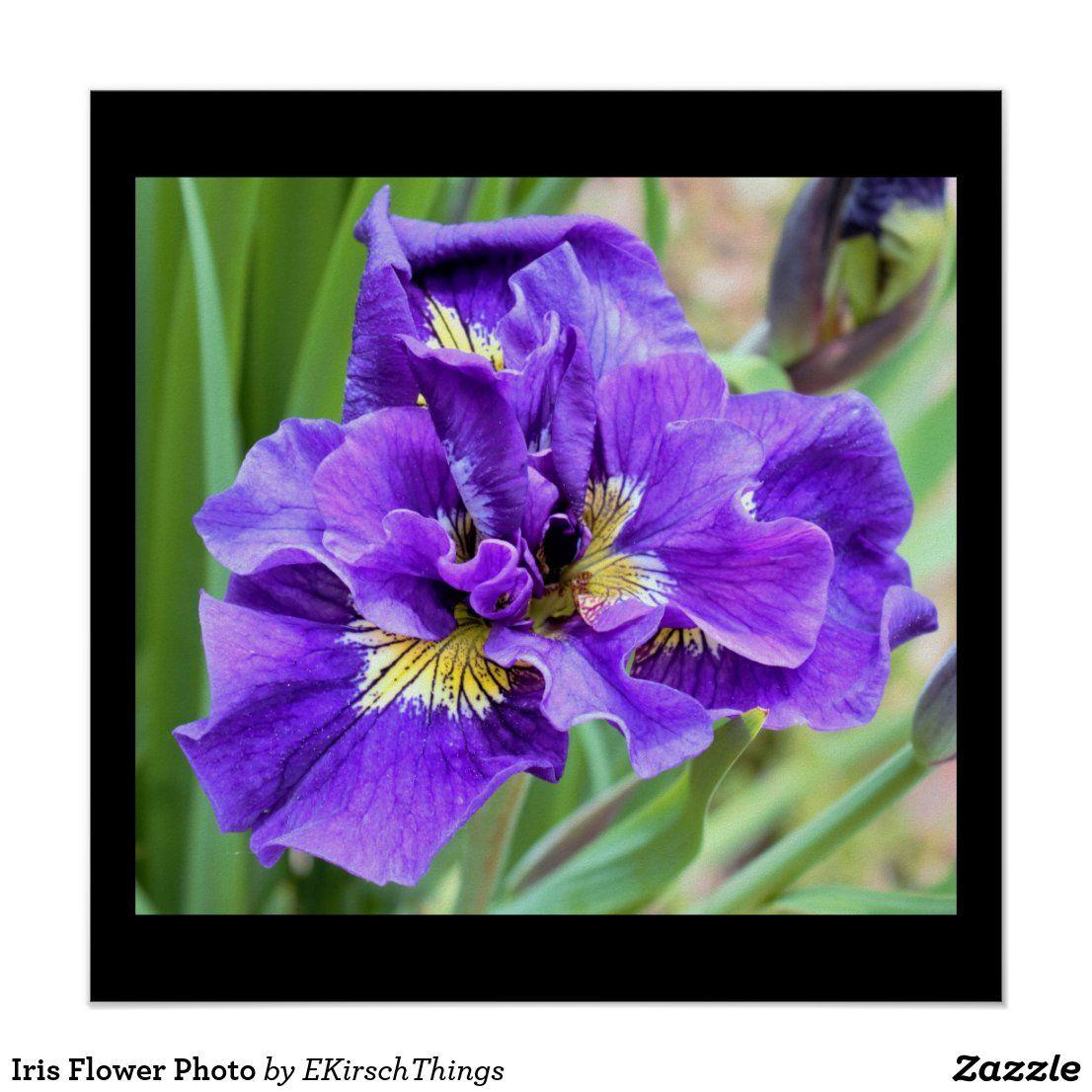 Iris Flower Photo Poster Zazzle Com In 2020 Iris Flower Photos Iris Flowers Photo Posters