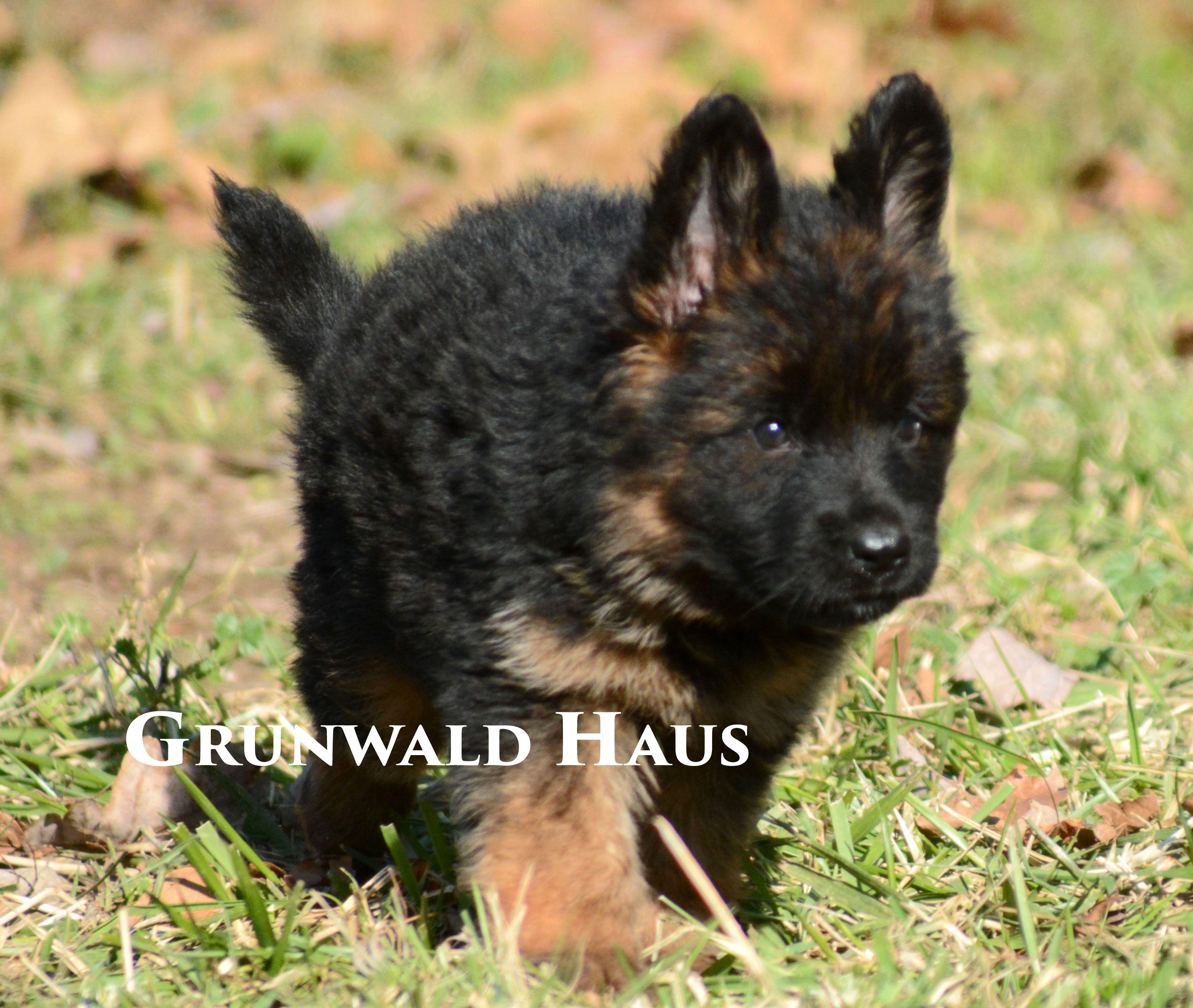 Long Coat German Shepherd Puppies At Grunwald Haus Usa German Shepherd Puppies German Shepherd Dogs And Puppies