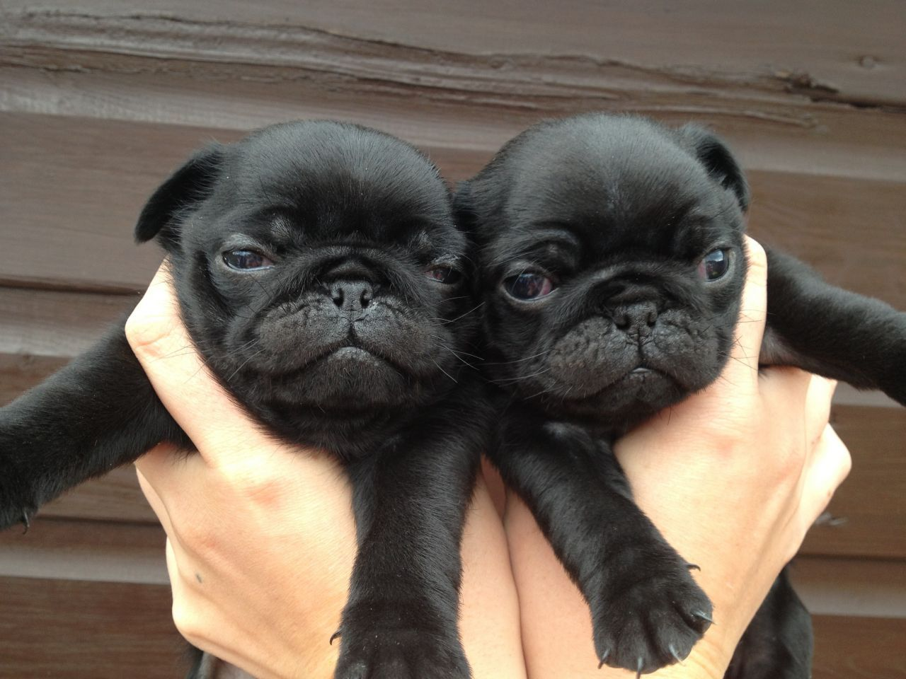 Black Pugs In Costumes Hd Wallpaper Background Images Pug