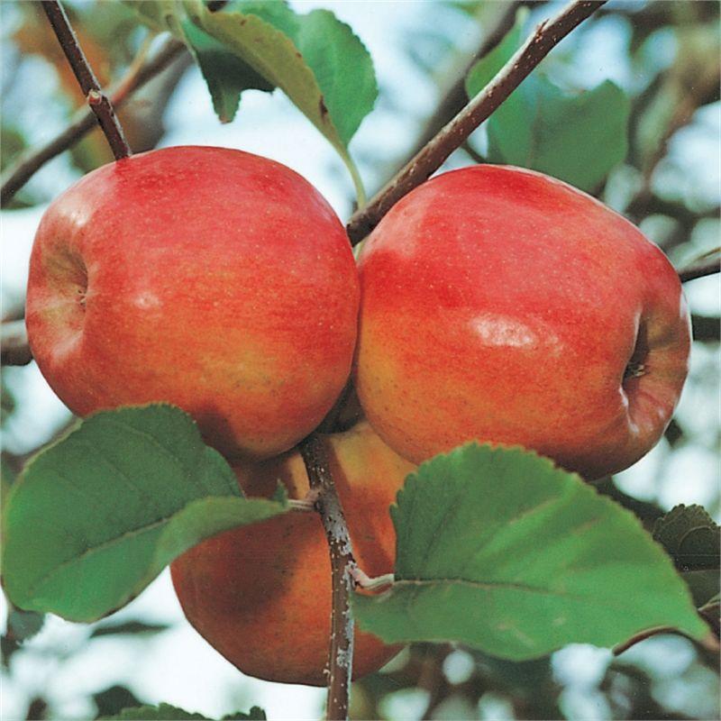 Plant Apple Dwarf 3 7l Pink Lady Cripps Pink I N 3831210 Bunnings Warehouse Miniature Fruit Trees Garden Hardware Apple