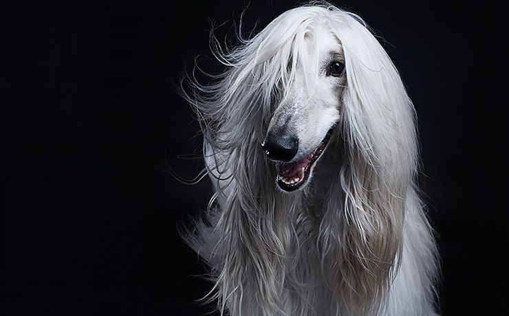 Хаски или алабай: какая ты собака по знаку зодиака?   Журнал Cosmopolitan