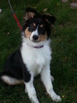 Adopted Jaxs 5 Month Old Black Tri Australian Shepherd Mix Male