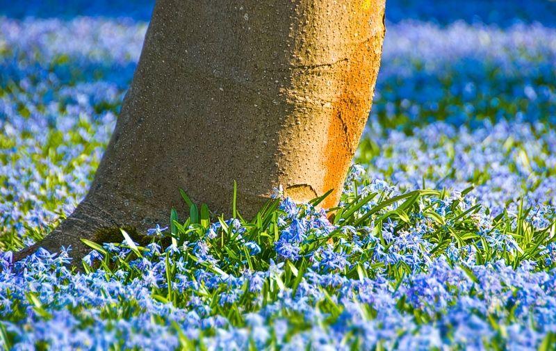 baum Baumstamm blau blaustern Blume frühling Grün jahreszeiten Karlsruhe Pflanze Schlosspark Scilla Scilla bifolia Stamm