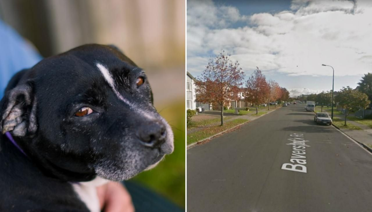 An Auckland Woman Is Determined To Bring A Man To Justice Who She Saw Violently Beating A Small Dog In A Horrific Case Of Cruelty Dogs Small Dogs Auckland