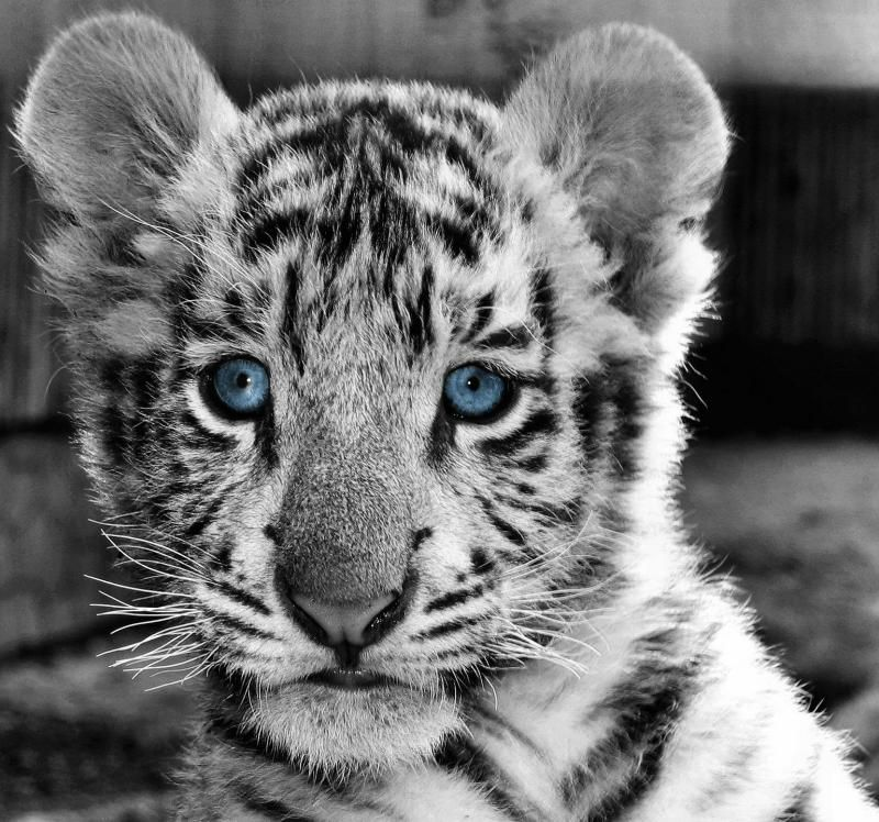 angry white tiger blue eyes - photo #18