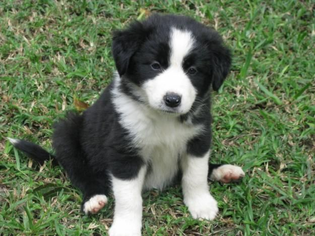 Dogs that look like collies