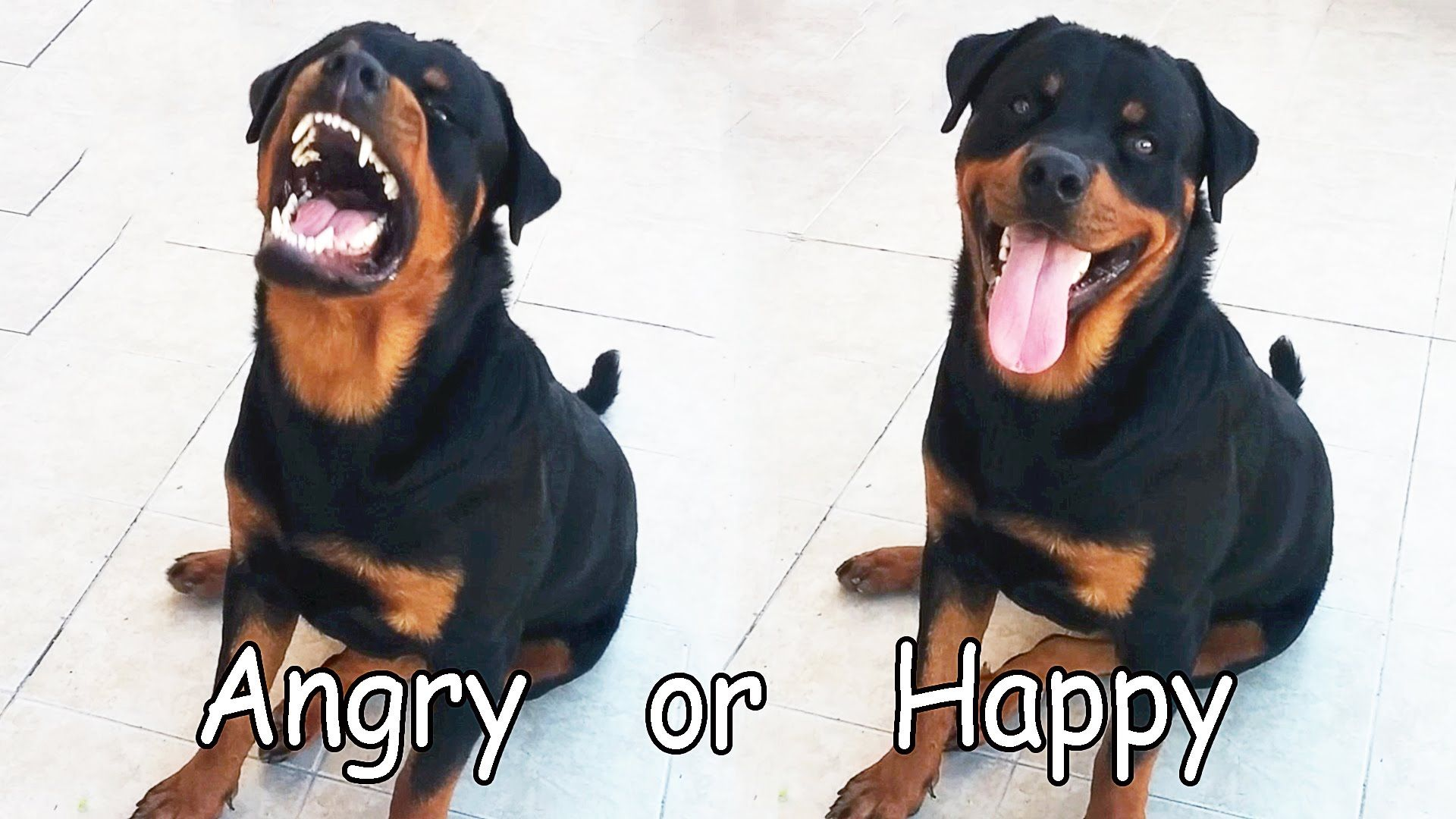Angry rottweiler dog - photo#32