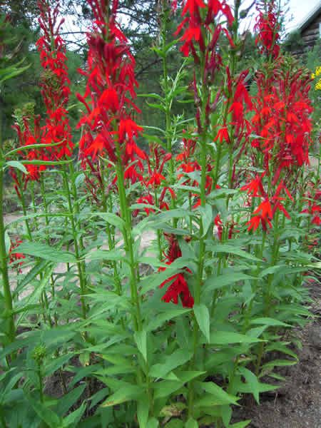 Cardinal Flower Plant Lobelia Cardinalis Is Named For Its