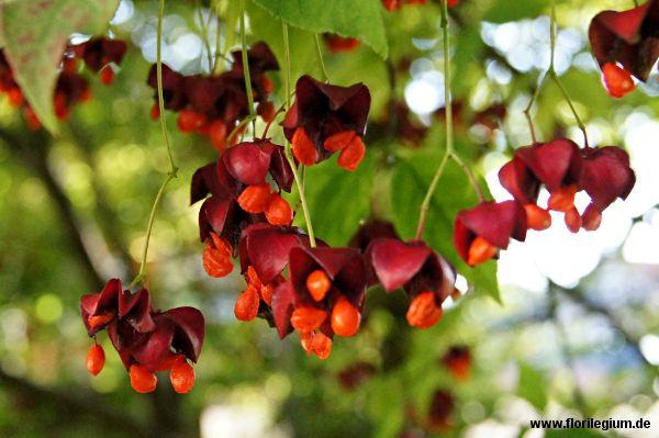 #Spindelstrauch oder #Pfaffenkapperl, #Euonymus europaeus  http://www.florilegium.de/blog/pflanzen/heimische-wildpflanzen-und-wildkraeuter/spindelstrauch-oder-pfaffenkapperl-euonymus-europaeus.html