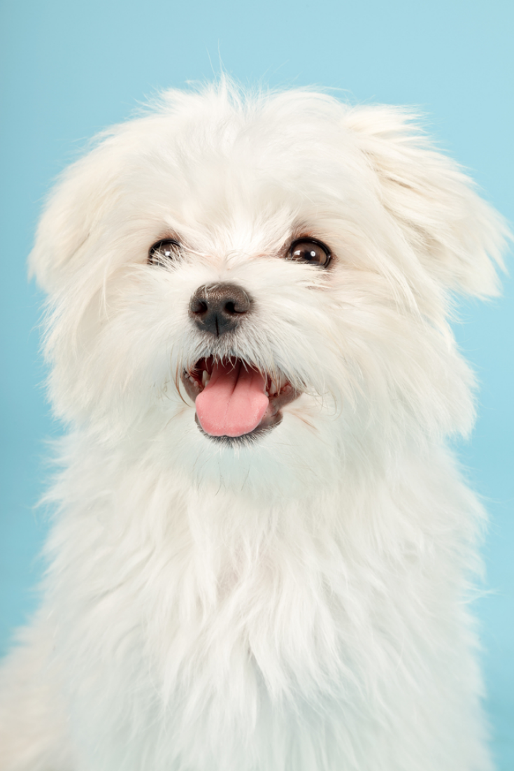 Portrait Of White Maltese Dog Isolated On Light Blue Background Maltese Dogs Cute Dogs