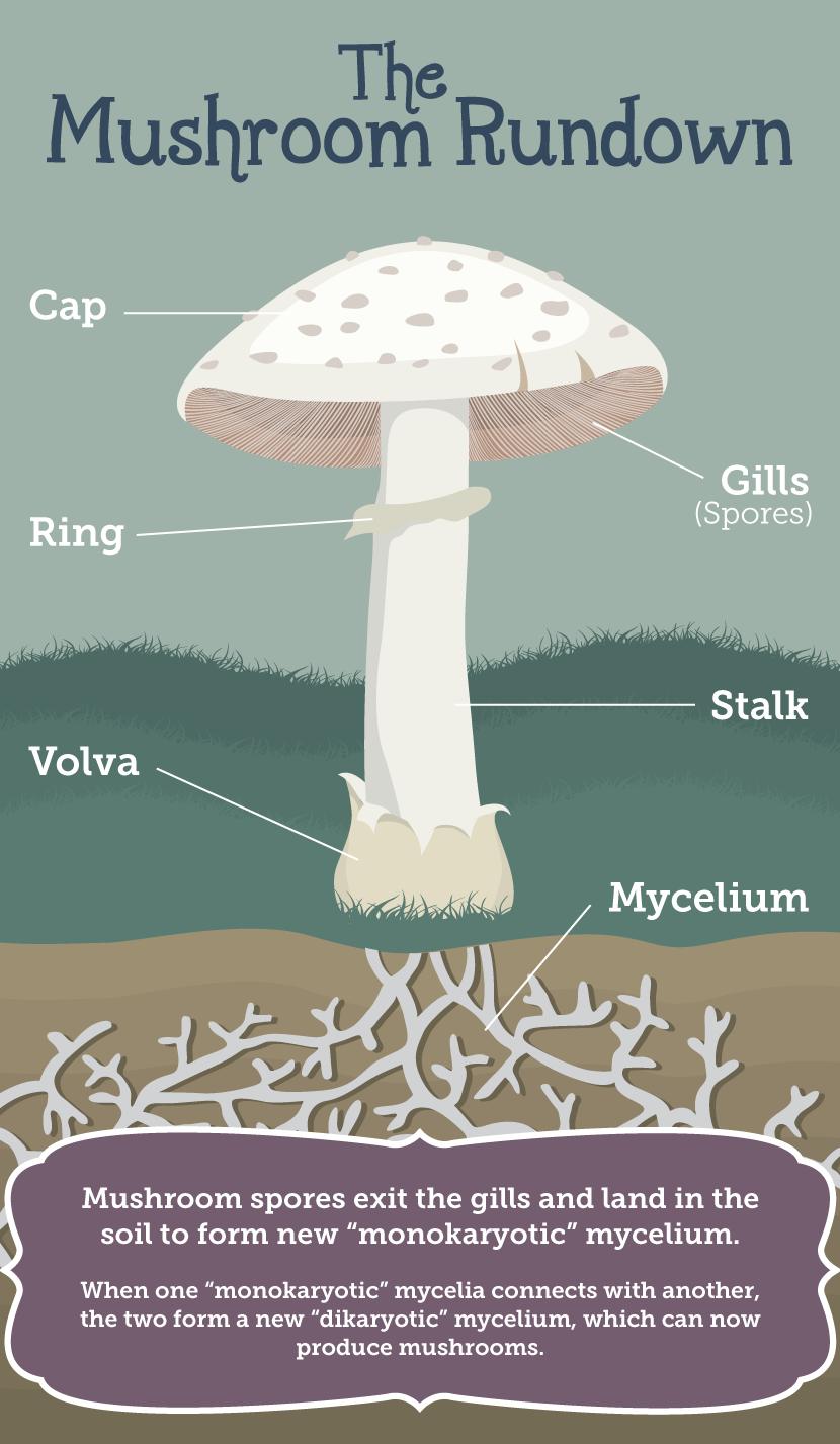 Growing Mushrooms at Home: Anatomy of a Mushroom | Pilze | Pinterest ...