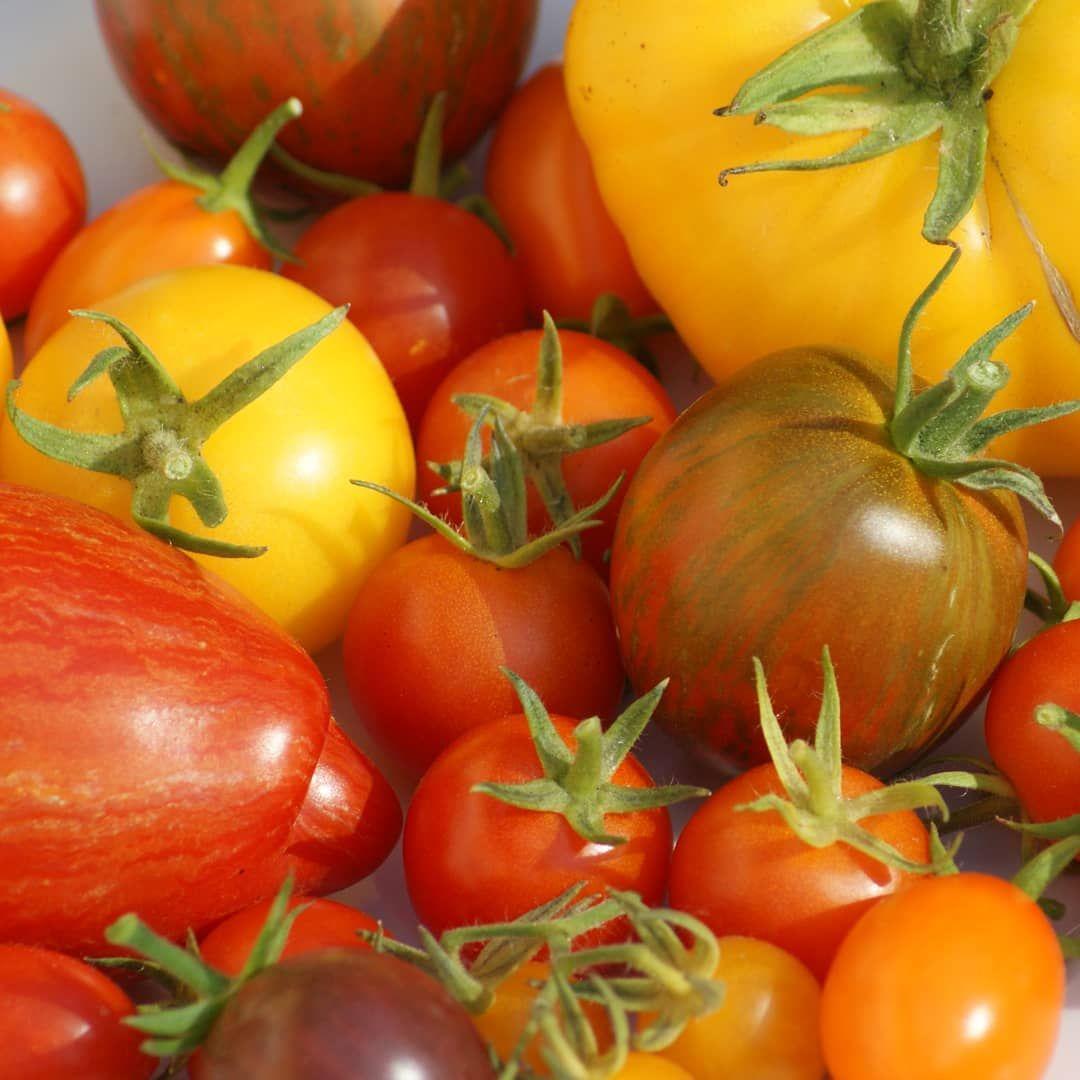 🍅🍅🍅 Tomaten satt mit unserer tollen und vor allem regionalen 🍅-Vielfalt 💚  Tomatensalat, Tomatensuppe, gefüllte Tomaten, Nudeln mit frischem Tomatensugo, Tomatengratin, Tomaten-Mozzarella-Kuchen, Tomatenreis ... 😋 Was macht ihr am liebsten aus Tomaten?  %2