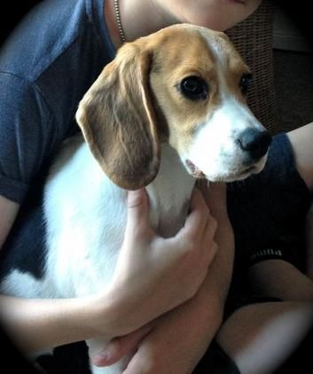Female Pedigree Beagle For Sale 7 Months Old Puppy Female