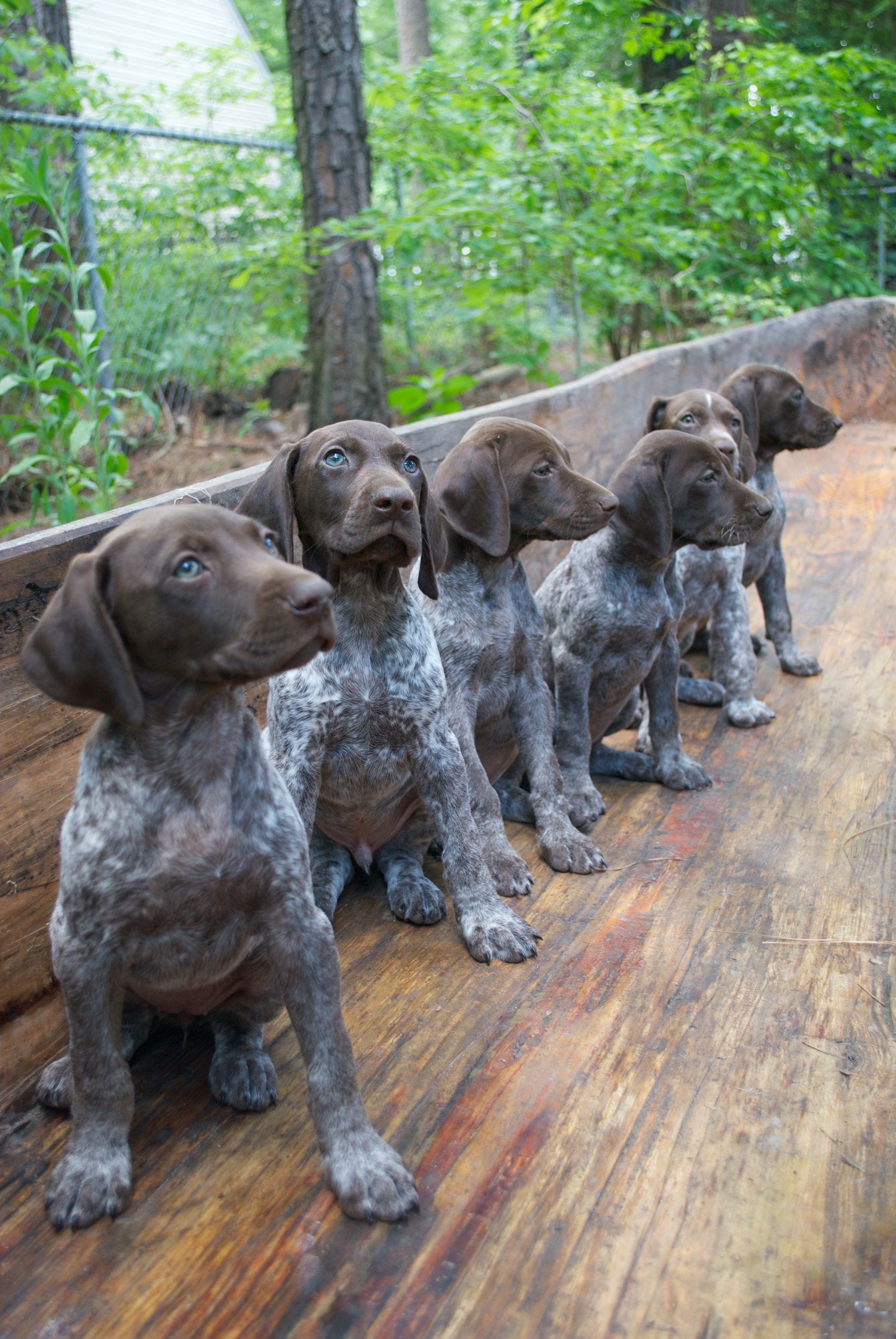 #gsp #puppy #7weeksold #gspownerforlife #germanshorthairedpointer #germanshorthairedpointerpuppy #germanshorthairedpointerpuppies