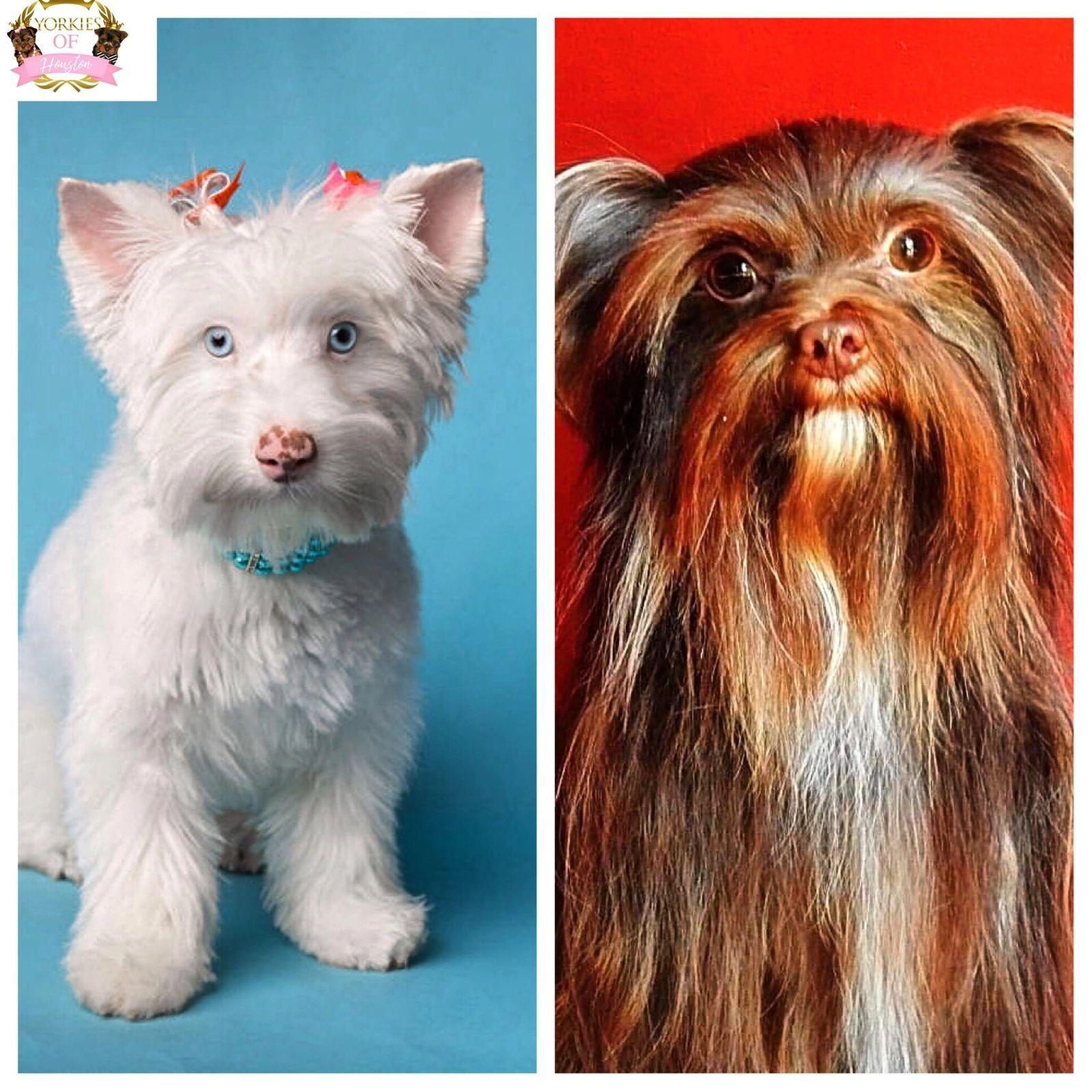 Available Yorkie Puppies Yorkies Of Houston Cuteteacuppuppies Available Yorkie Puppies Yorkies Of Houston Cute Teacup Puppies Yorkie Yorkie Puppy
