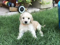Litter Of 9 Goldendoodle Puppies For Sale In Glendale Az