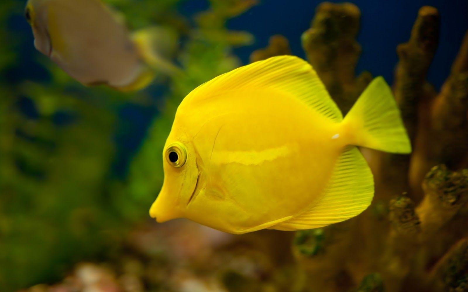 Yellow Animals Yellow Tang Fish Wallpaper Tang Fish Fish Wallpaper Yellow Fish