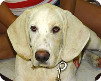 Westport, CT - Basset Hound/Labrador Retriever Mix. Meet COME MEET River Belle a Dog for Adoption.