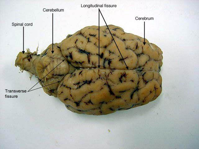 Superior view of sheep's brain http://classroom.sdmesa.edu ...