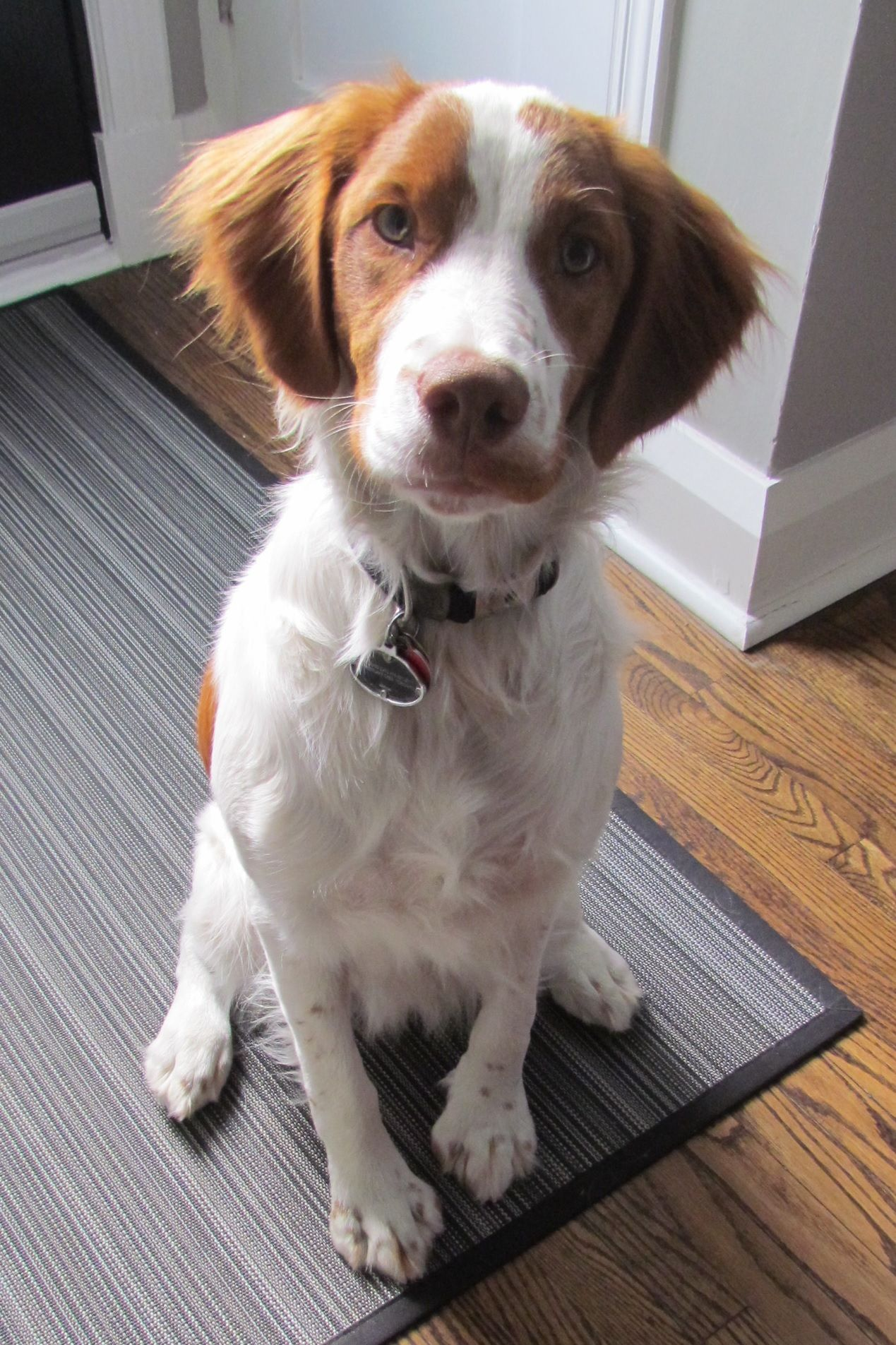 This Is My Handsome Boy Archie A Name Inspired By The Comic Book Character And His Red Freckles He S A P Brittany Spaniel Dogs Brittany Dog Spaniel Puppies