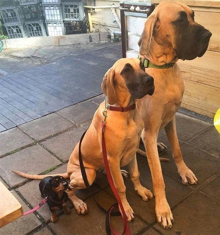 Brown And Black Great Dane Puppies Zoe Fans Blog Great Dane