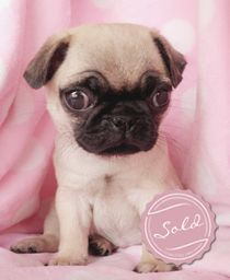 Pug Puppies For Sale At Teacups Puppies In South Florida Baby