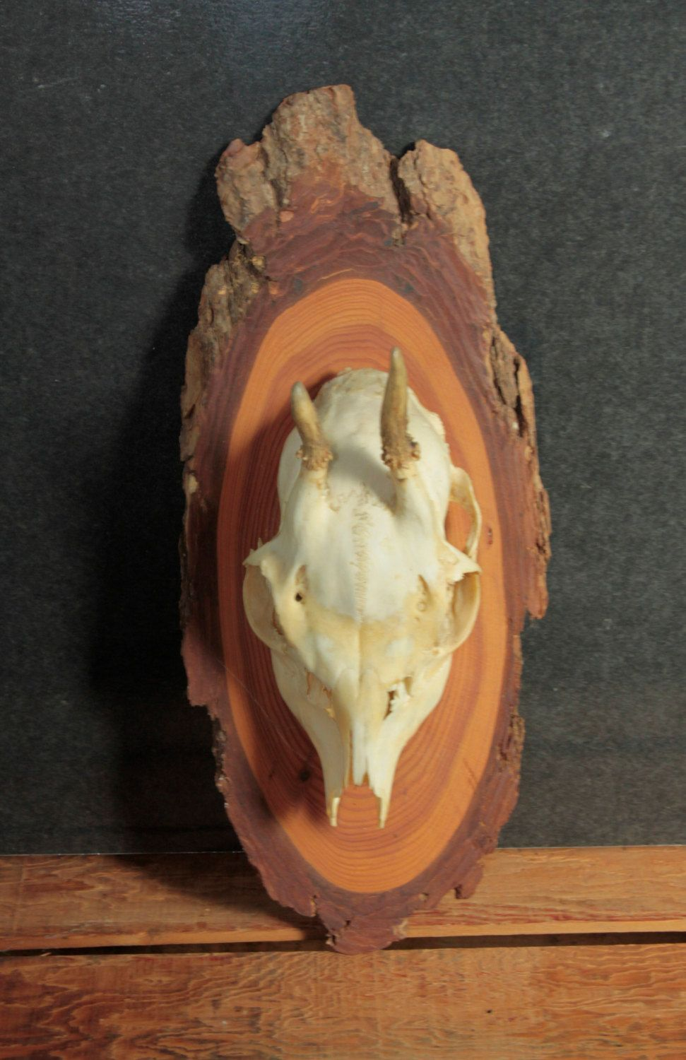 Mounted Skull with Horns, Unusual Small Skull Mounted on Wood Slice, Vintage Wall Decor, Rustic Wall Decor by Fleaosophy on Etsy