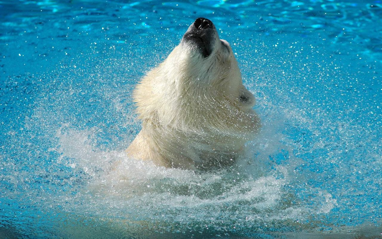 oso en el agua wallpaper - Buscar con Google
