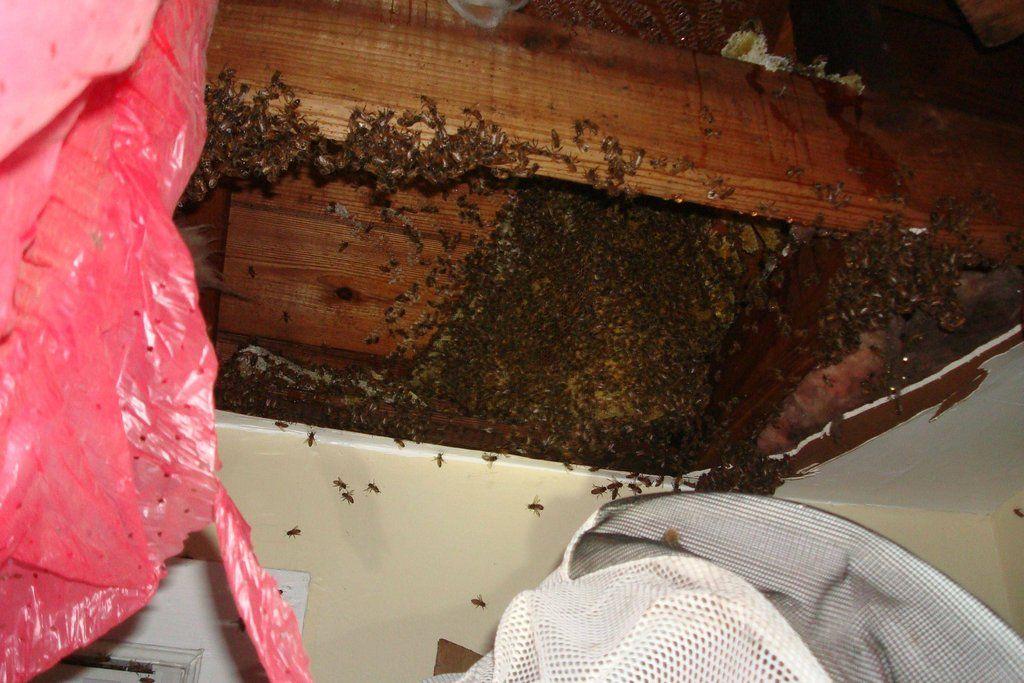 3c8c3a1522d4f4d53d4397f4b011ab16 - How To Get Rid Of Bee Hive In Attic
