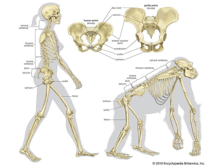 gorilla: locomotion and skeletal structure | Gorilla | Pinterest ...