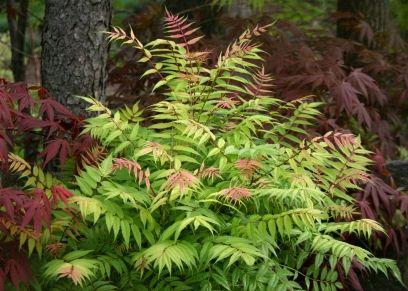 Sorbaria Sorbifolia Sem False Spirea Plants Spirea Flowering Shrubs