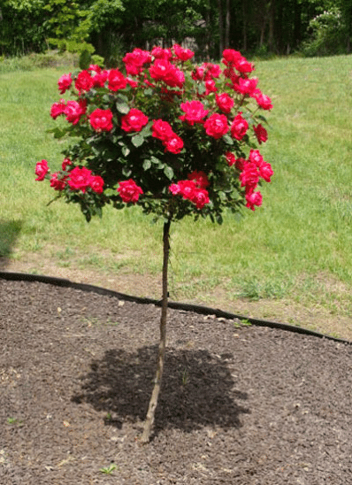 Knock Out Rose Tree Knockout Rose Tree Rose Seeds Knockout Roses