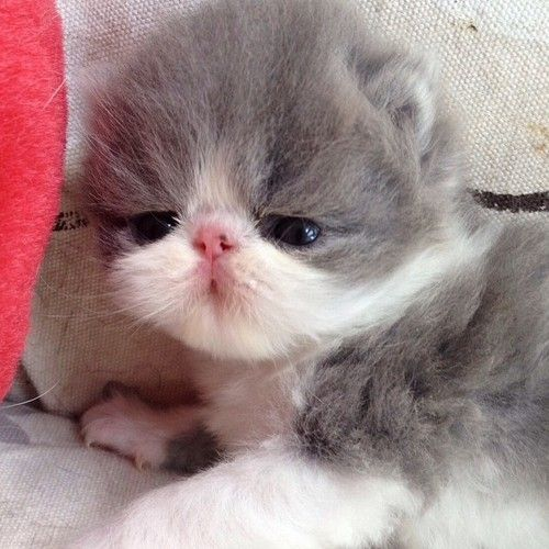 Newborn Persian Kitten So Tiny Precious Pretty Cats Cute