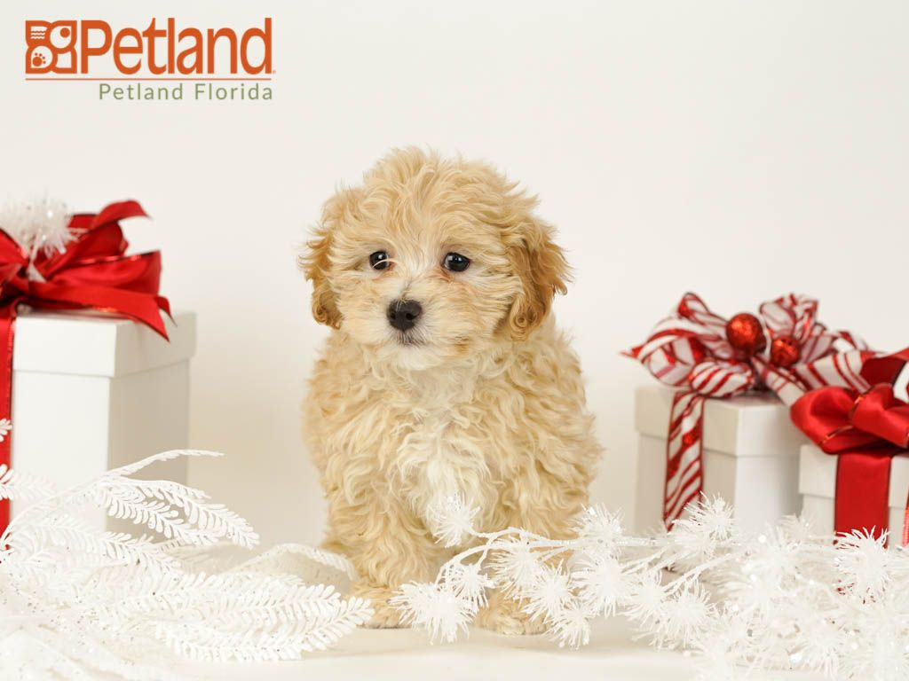 Petland Florida Has Maltipoo Puppies For Sale Check Out All Our