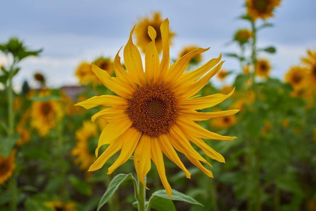 Eichsfeld Thuringen Breitenworbis Sonneblume Blume Blumen Flower Flowers Sunflower Natur Nature Plants Plants Flowers Dandelion
