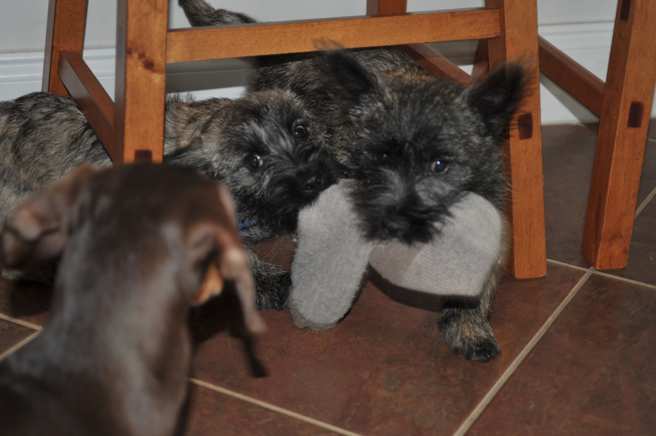 2 Cairns And The Weiner Interloper With Images Cairn Terrier Animals And Pets Terrier