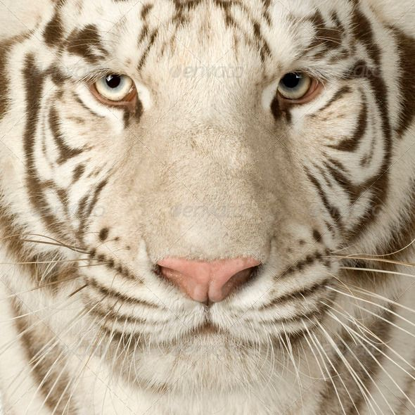 White Tiger 3 Years Pinterest Tigers