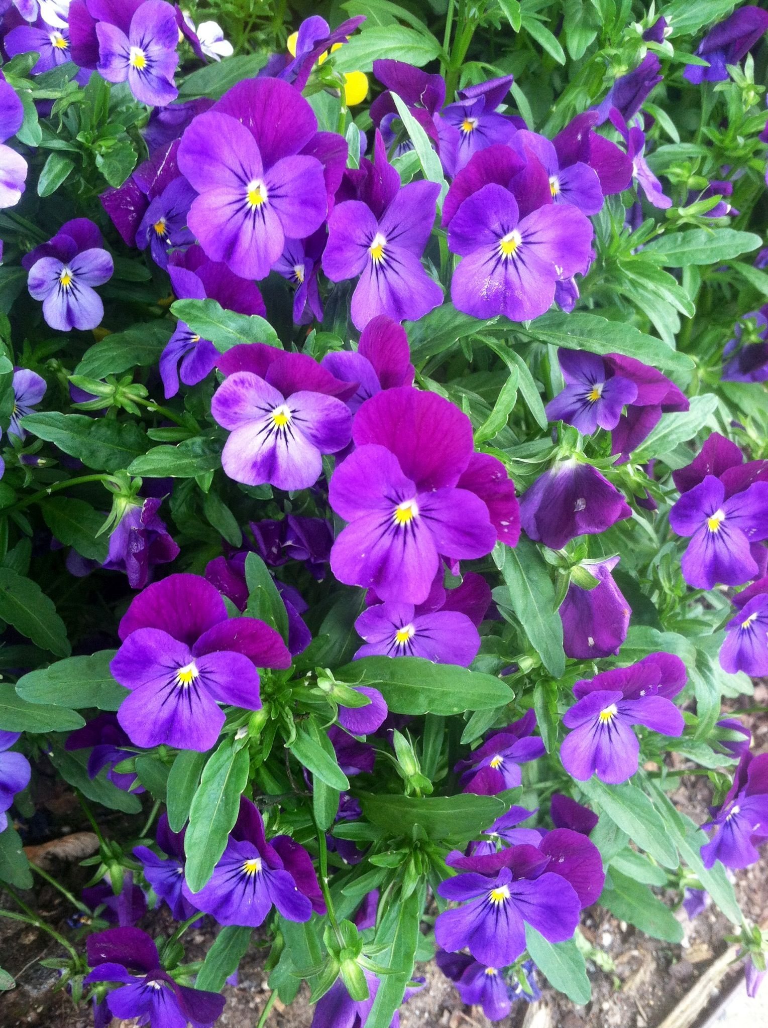 Violas are pretty dainty flowers that thrive in cool weather this violas are pretty dainty flowers that thrive in cool weather this makes them perfect mightylinksfo