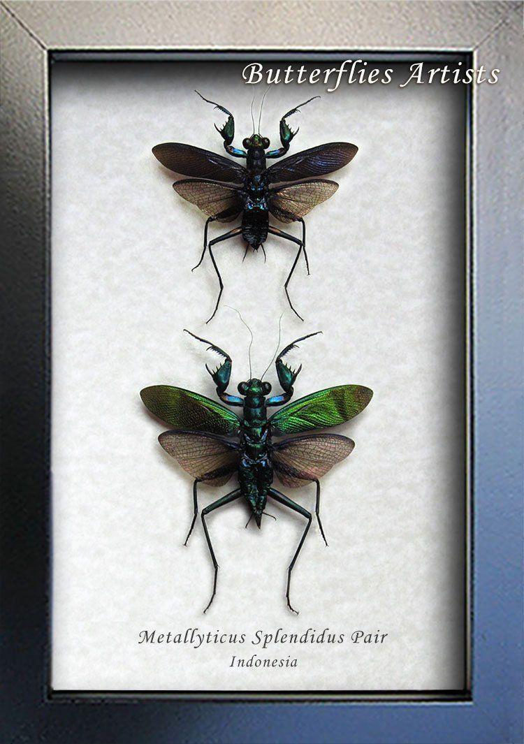 Metallyticus Splendidus Pair Rare Beautiful Praying Mantis Entomology Collectible In Shadowbox Praying Mantis Shadow Box Museum Displays