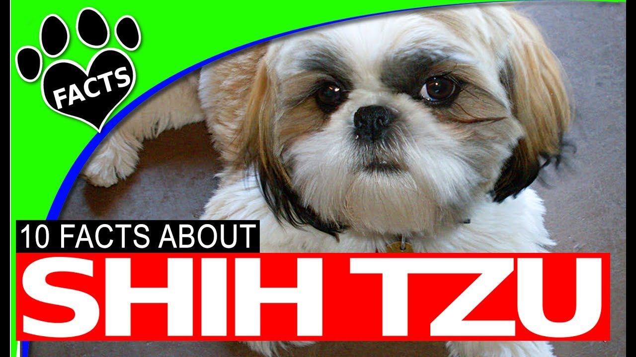 Dogs 101 Shih Tzu Facts History Origins Most Popular Breeds