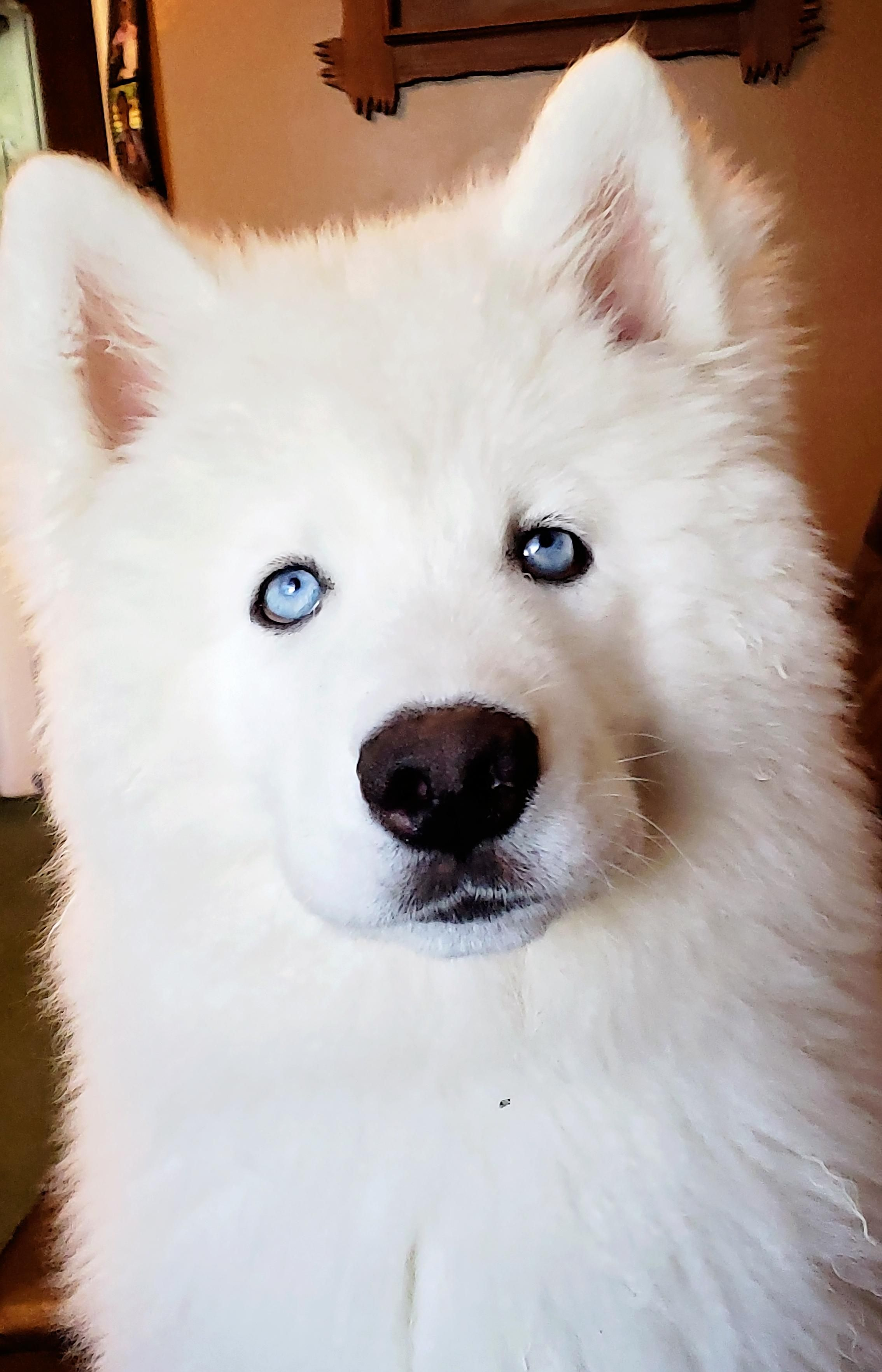 Meet Monroe Our New Wooly Siberian Husky Puppy Dogpictures Dogs