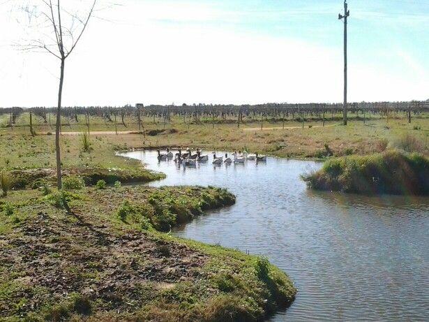 Patos en Bodega El Legado Uruguay