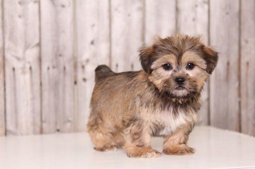 Shorkie Tzu Puppy For Sale In Mount Vernon Oh Adn 28533 On Puppyfinder Com Gender Male Age 8 Weeks Old Puppies Puppies For Sale Shorkie Tzu