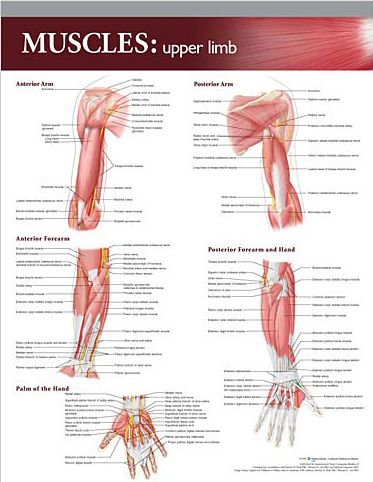 upper extremity anatomy - Google Search | Occupational Therapy ...