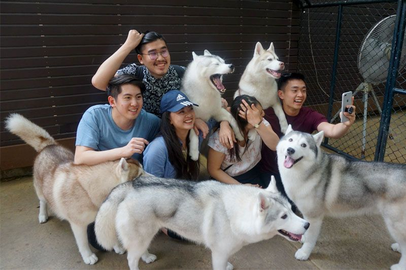 Play With 34 Dogs At Bangkok S Siberian Husky Cafe Pet Cafe