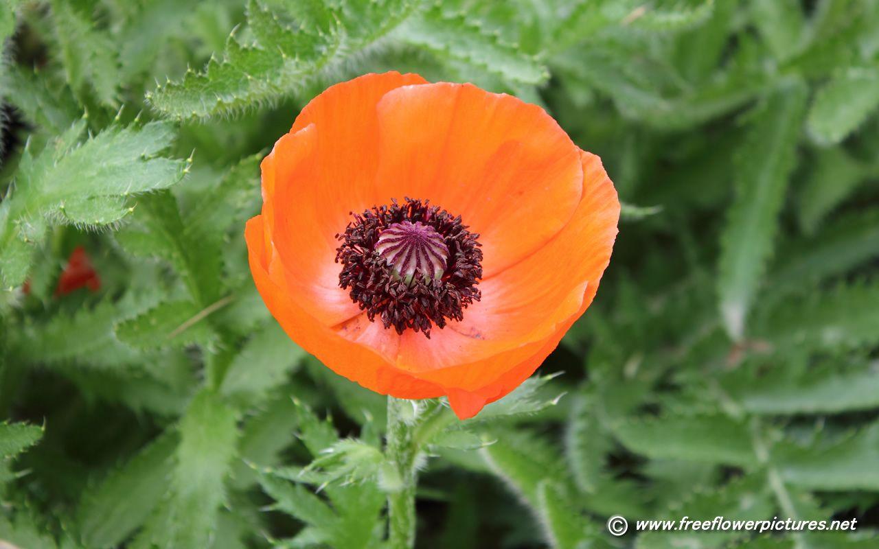 Poppy Opium Poppy Flower Flowers And Critters Pinterest