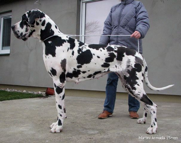 Great Dane Heavy Marked Harlequin Absolutely Beautiful I Would