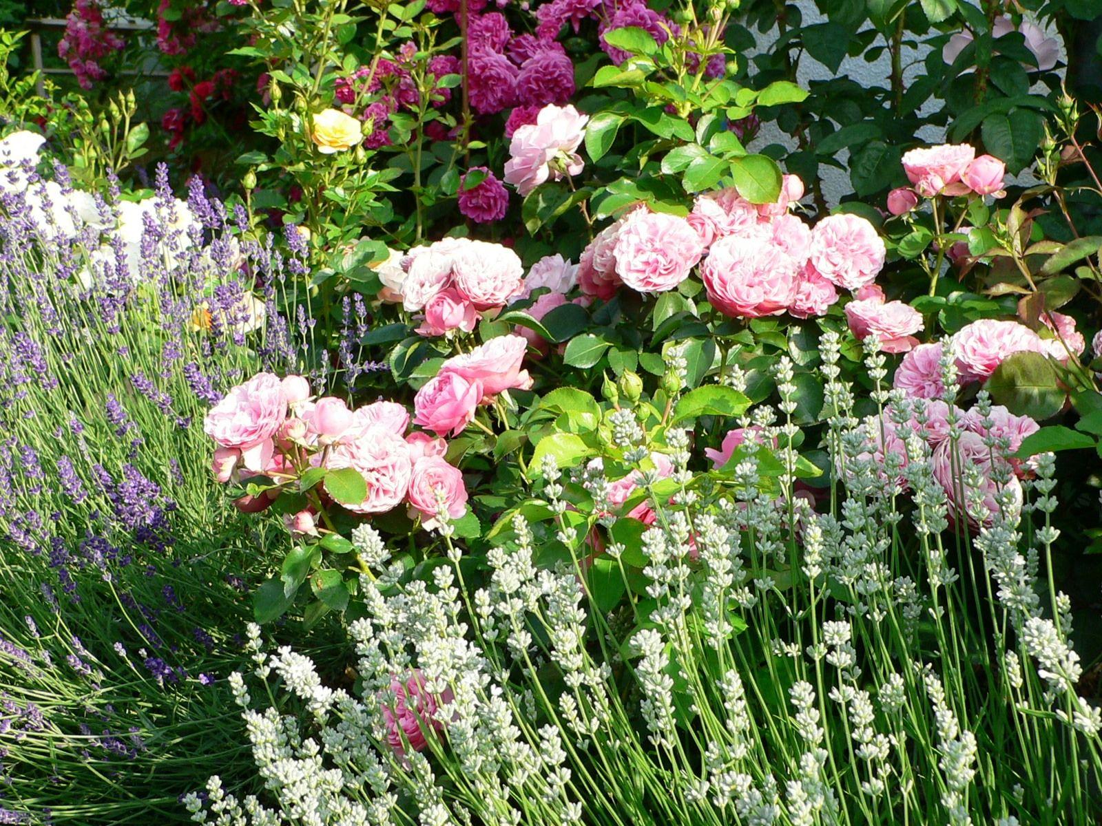 Kletterbogen Für Rosen : Rosenbeete google suche garten pinterest rosenbeet
