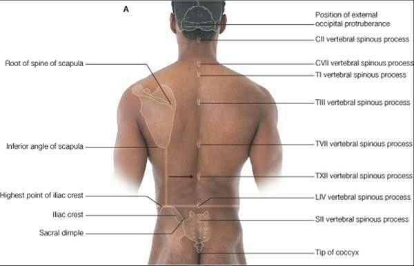 spinous process | Anatomy | Pinterest